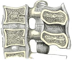 Vue sagittale gauche de deux vertèbres lombaires