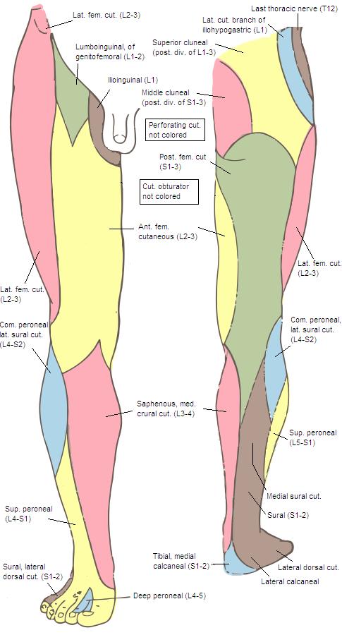 Territoire sensitif des nerfs périphériques cutanés