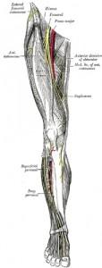 Vue antérieure de la jambe, nerf fémoral