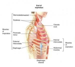 muscles impliqués dans l'expiration