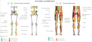 Système locomoteur : ostéo-articulaire et musculaire
